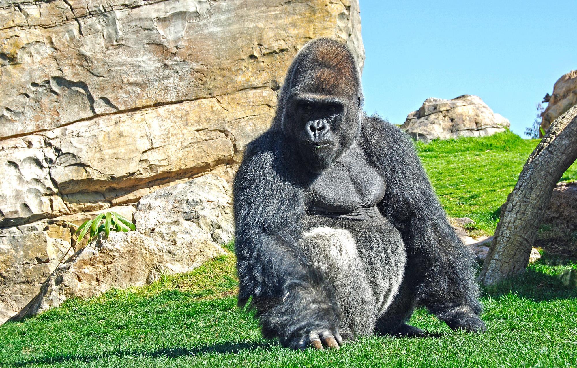 El-gorila-Mambie-marzo-2012-Bioparc-Valencia